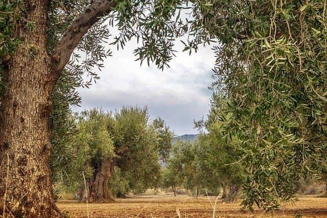 calce su alberi di ulivo