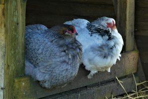 kit pollaio legno