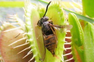 dionea insetti morti 3