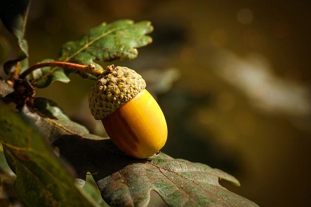 frutto della quercia