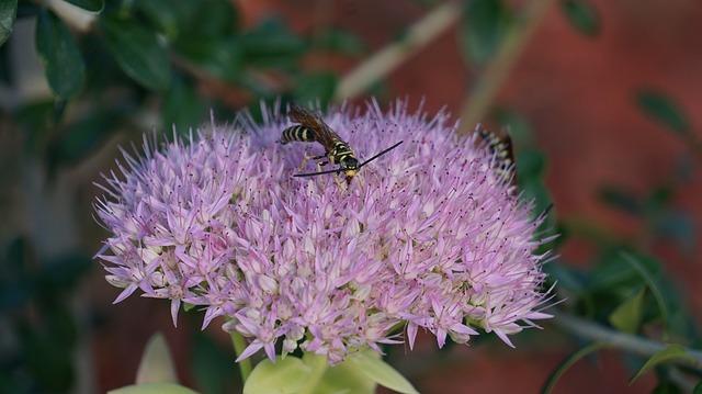 insetto su sedum spectabile