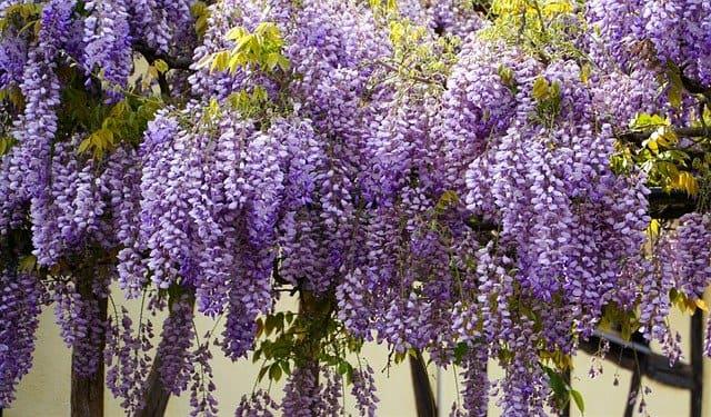 wisteria resistenti al vento