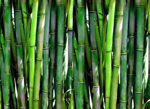 bamboo pianta