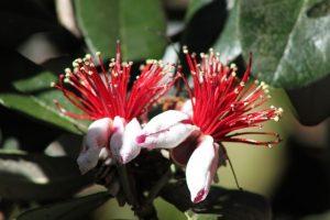 feijoa-pianta