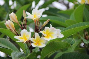 frangipane-pianta