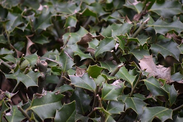 pungitopo pianta