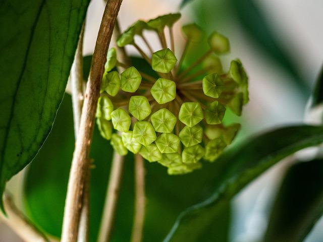 pianta di cera