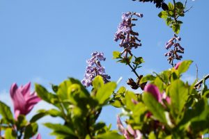 paulownia pianta