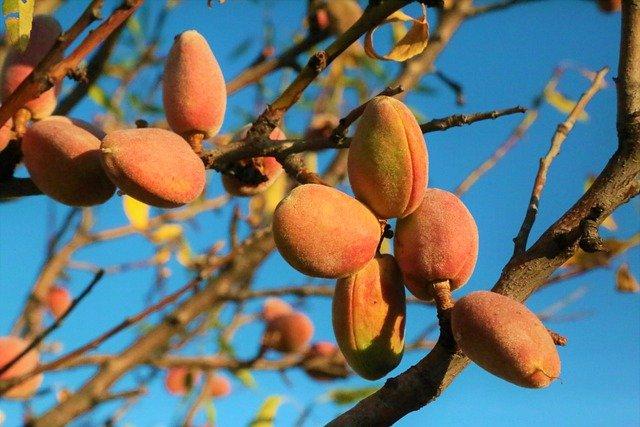 albero di mandorle