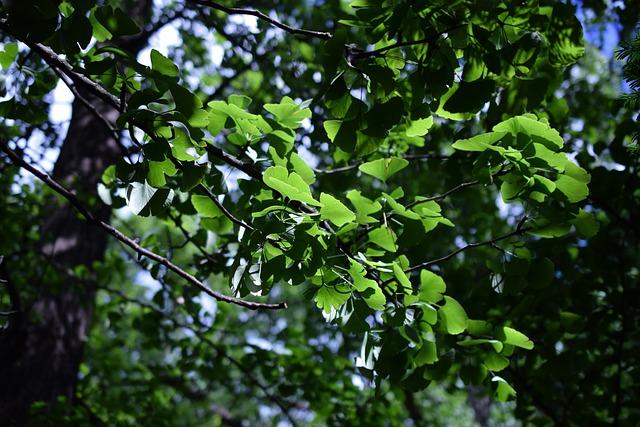 ginko biloba albero
