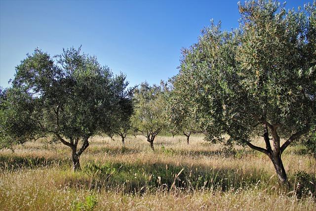olivo frantoio