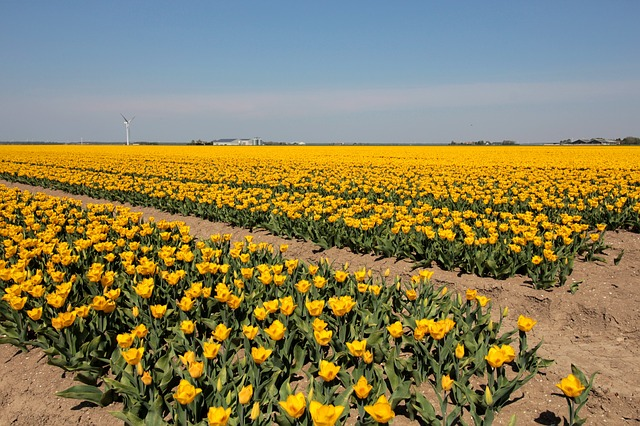 bulbi di tulipano