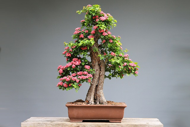 Bonsai ciliegio