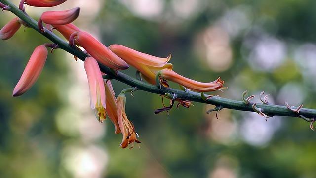 fiore aloe