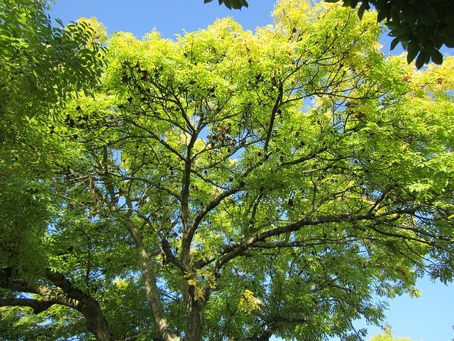 albero della manna