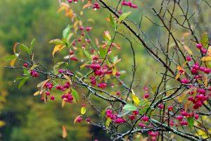 Arbusto cespuglioso con corteccia e frutti velenosi