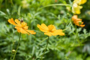 Cespugli fioriti perenni resistenti al freddo