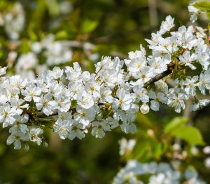 arbusto da siepe con fiori a corimbo
