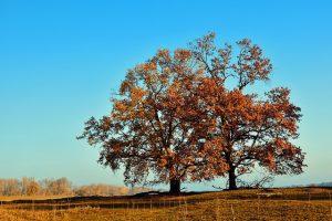 Rovere albero