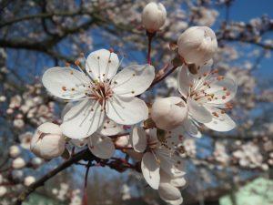 albero di prugne