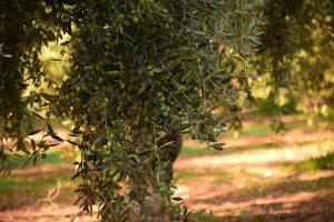 prezzo olivo