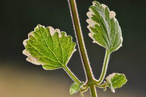 pianta incenso
