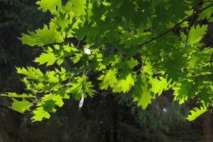 alberi da ombra crescita veloce