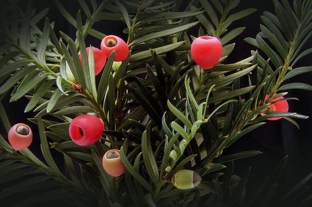 tasso pianta