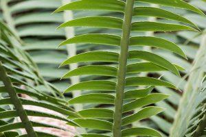 foglie di zamia